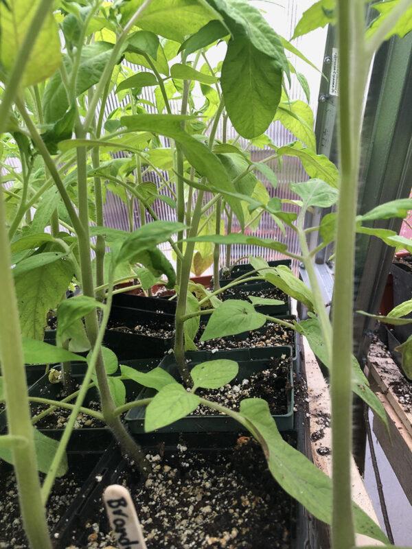 Red Brandywine seedlings