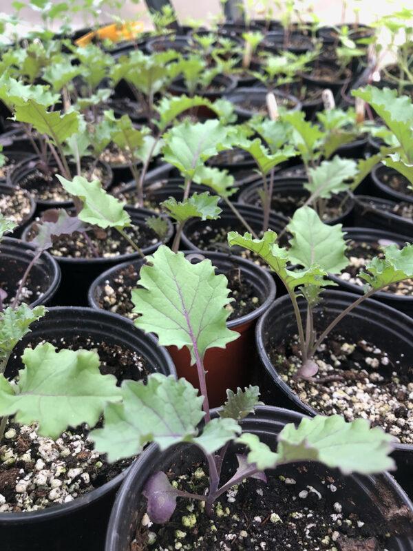 Redbor seedlings