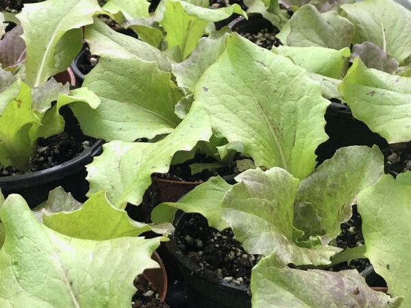 Relay seedlings