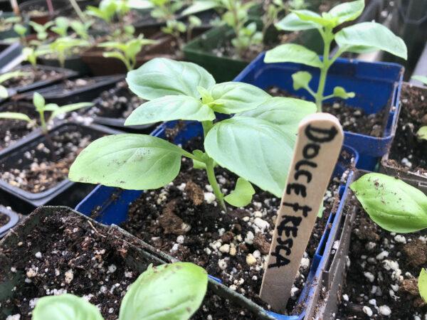 Dolce Fresca Basil 2021 seedlings