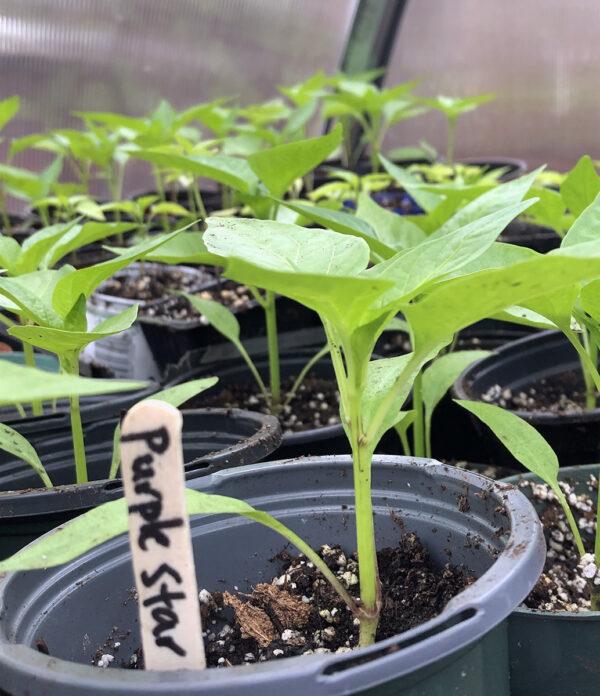 Purple Star 2021 seedlings
