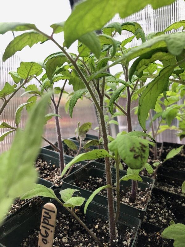 Indigo Apple seedlings
