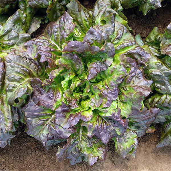 Red Mist Lettuce