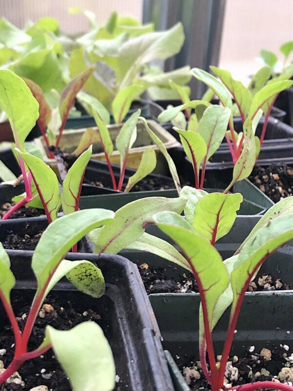Rhubarb Supreme Chard 2021 seedlings