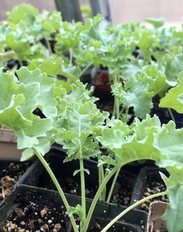 Darkibor 2021 seedlings